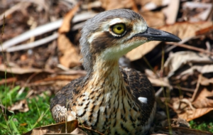 Bush Stone Curlew Images