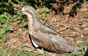 Bush Stone Curlew Photos