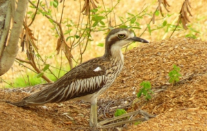 Bush Stone Curlew For Desktop