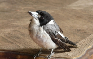 Butcherbird Background