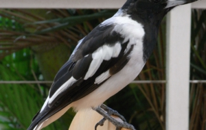 Butcherbird HD