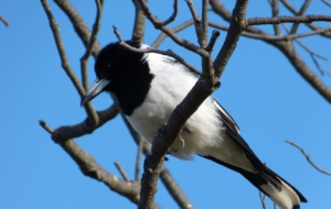 Butcherbird HD Background