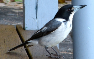 Butcherbird HD Desktop
