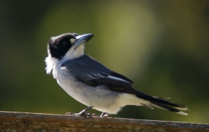 Butcherbird High Definition Wallpapers