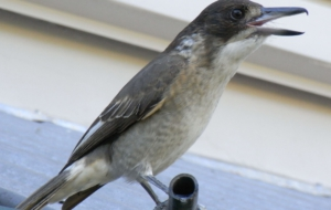 Butcherbird High Quality Wallpapers