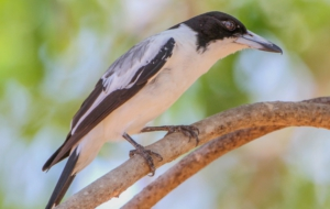 Butcherbird Photos