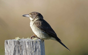 Butcherbird Wallpapers