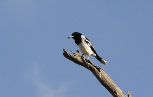 Butcherbird Wallpapers HD