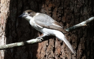 Butcherbird Widescreen
