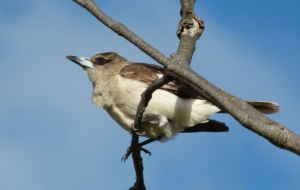 Butcherbird For Desktop