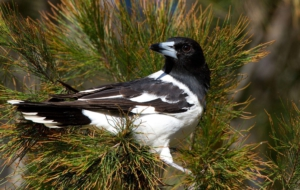 Butcherbird Full HD