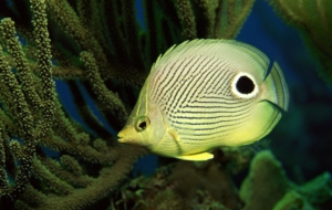 Butterflyfish High Definition Wallpapers