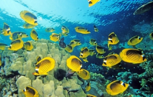 Butterflyfish High Quality Wallpapers