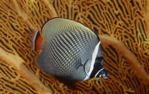 Butterflyfish Wallpaper