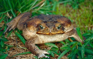 Cane Toad 4K