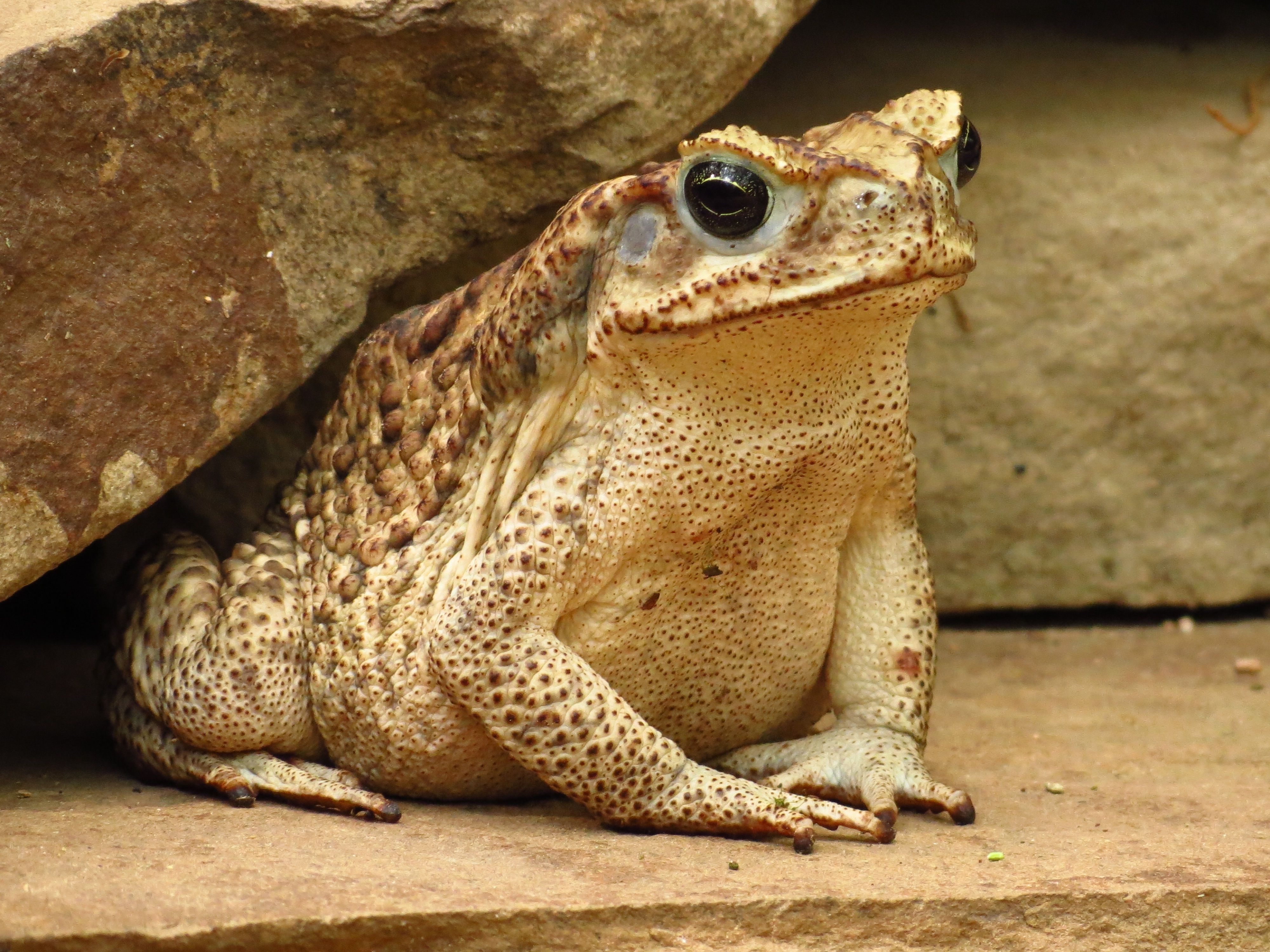 Cane Toad Wallpapers Backgrounds