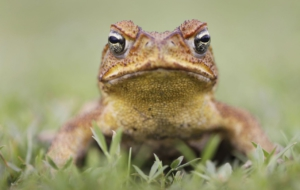 Cane Toad Desktop Images