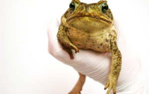 Cane Toad Desktop Wallpaper