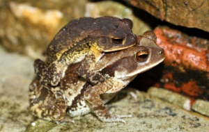 Cane Toad HD