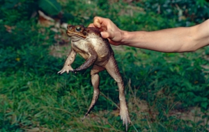 Cane Toad Full HD