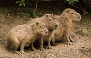 Capybara Background