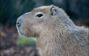 Capybara Computer Backgrounds
