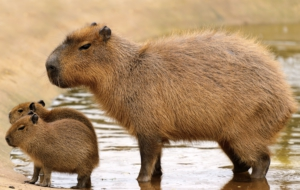 Capybara Computer Wallpaper