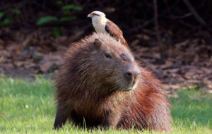 Capybara Download Free Backgrounds HD