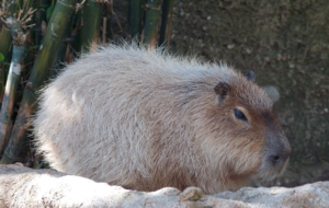 Capybara For Desktop