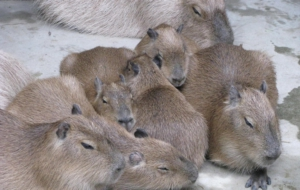 Capybara For Desktop Background