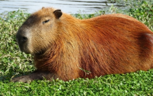 Capybara Full HD