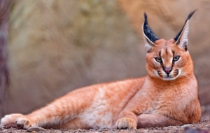 Caracal High Definition