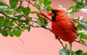 Cardinal Free HD Wallpapers