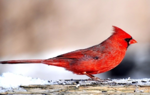 Cardinal HD Wallpaper