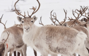 Caribou Download Free Backgrounds HD