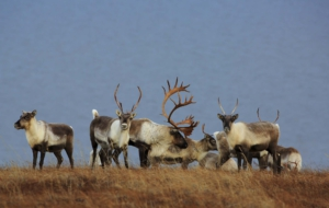 Caribou For Desktop Background