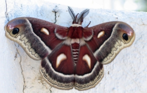 Cecropia Moth Computer Backgrounds