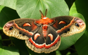 Cecropia Moth HD Wallpaper