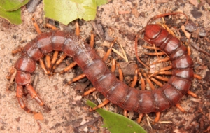 Centipede Photos