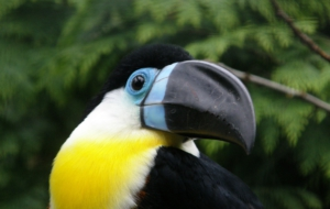Channel Billed Toucan Desktop