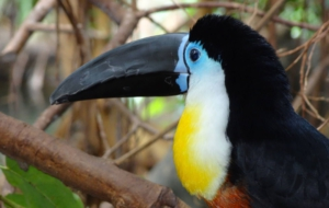 Channel Billed Toucan HD Wallpaper