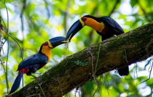 Channel Billed Toucan High Quality Wallpapers