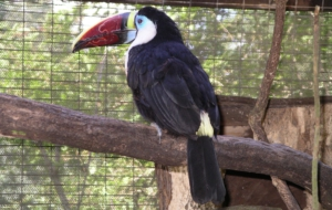 Channel Billed Toucan Full HD
