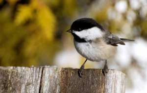 Chickadee Computer Wallpaper