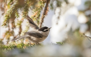 Chickadee Desktop Images
