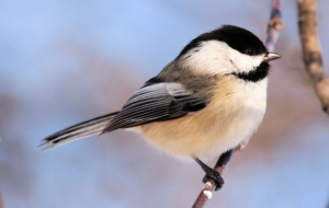 Chickadee Download