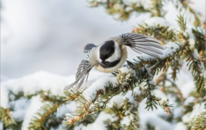 Chickadee Free Download
