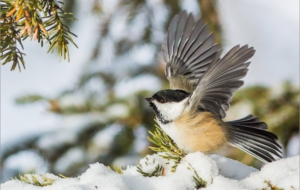 Chickadee Free HD Wallpapers
