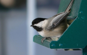 Chickadee HD Background