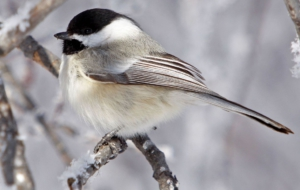 Chickadee HD Wallpaper